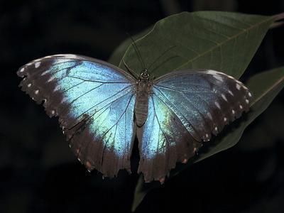 Blue Morpho Butterfly (Morpho Peleide)
