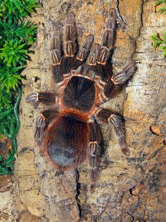 Brazilian Fire Red, One of the Biggest Tarantula Giants, Brazil, South America by Raj Kamal