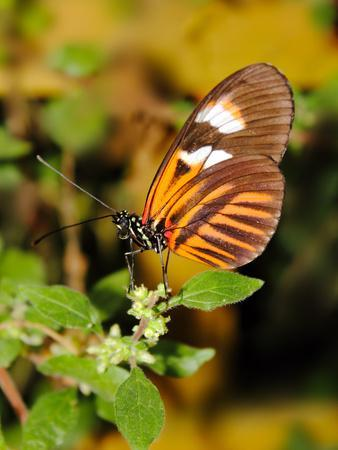 Hecales Longwing Butterfly (Heliconius Hecale), Widespread across South America