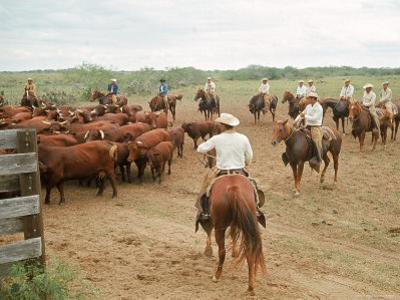 Cowboys on the King Ranch Move Santa Gertrudis Cattle from the Roundup Area Into the Working Pens by Ralph Crane