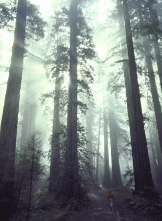 Person Dwarfed by Massive Redwoods Breaking Through Morning Fog and Sunlight by Ralph Crane