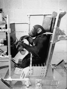 Training Chimpanzees at Hollowan Air Force Base for Trip into Space as Part of the Mercury Project by Ralph Crane