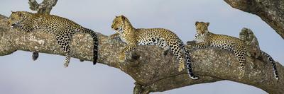 Africa. Tanzania. African leopard mother and cubs in a tree, Serengeti National Park.