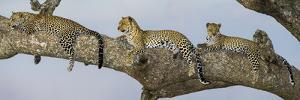 Africa. Tanzania. African leopard mother and cubs in a tree, Serengeti National Park. by Ralph H. Bendjebar