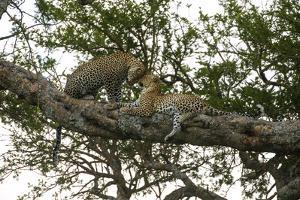 Africa. Tanzania. African leopards in a tree, Serengeti National Park. by Ralph H. Bendjebar