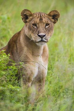 Africa. Tanzania. African lioness at Tarangire National Park. by Ralph H. Bendjebar