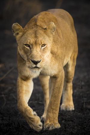 Africa. Tanzania. African lioness Serengeti National Park.
