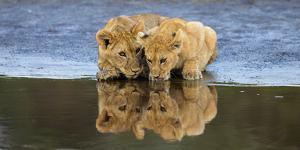 Africa. Tanzania. African lions at Ndutu, Serengeti National Park. by Ralph H. Bendjebar