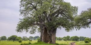 Africa. Tanzania. Baobab tree in Tarangire National Park. by Ralph H. Bendjebar