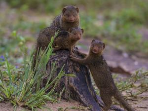 Africa. Tanzania. Dwarf mongoose family in Tarangire National Park. by Ralph H. Bendjebar