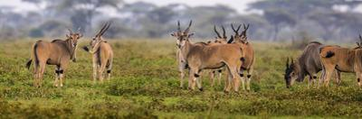 Africa. Tanzania. Eland at Ndutu, Serengeti National Park. by Ralph H. Bendjebar
