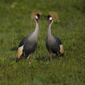 Africa. Tanzania. Grey crowned cranes, Balearica regulorum, at Ngorongoro crater. by Ralph H. Bendjebar