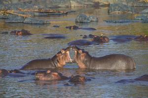 Africa. Tanzania. Hippopotamus, Serengeti National Park. by Ralph H. Bendjebar