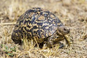 Africa. Tanzania. Leopard tortoise, Stigmochelys pardalis, Serengeti National Park. by Ralph H. Bendjebar