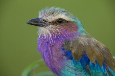 Africa. Tanzania. Lilac-breasted roller in Serengeti National Park.