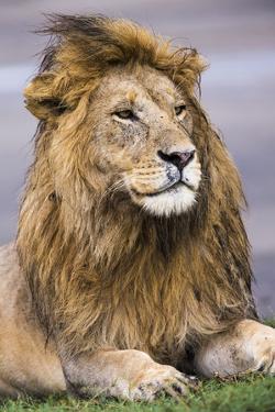 Africa. Tanzania. Male African Lion at Ndutu, Serengeti National Park. by Ralph H. Bendjebar