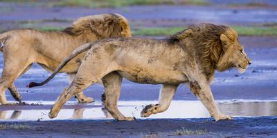Africa. Tanzania. Male African lions at Ndutu, Serengeti National Park.