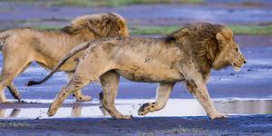 Africa. Tanzania. Male African lions at Ndutu, Serengeti National Park. by Ralph H. Bendjebar