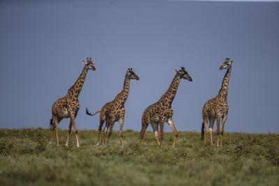 Africa. Tanzania. Masai giraffes at Ndutu, Serengeti National Park.