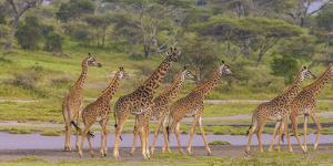 Africa. Tanzania. Masai giraffes at Ndutu, Serengeti National Park. by Ralph H. Bendjebar