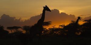 Africa. Tanzania. Masai giraffes at sunset at Ndutu, Serengeti National Park. by Ralph H. Bendjebar
