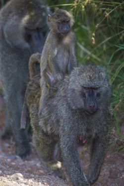 Africa. Tanzania. Olive baboon female with baby at Arusha National Park. by Ralph H. Bendjebar