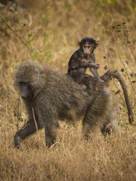 Africa. Tanzania. Olive baboon female with baby at Serengeti National Park. by Ralph H. Bendjebar