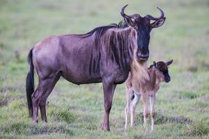 Africa. Tanzania. Wildebeest birthing during the Migration, Serengeti National Park. by Ralph H. Bendjebar