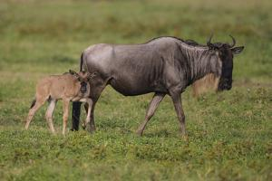Africa. Tanzania. Wildebeest birthing during the Migration, Serengeti National Park. by Ralph H. Bendjebar