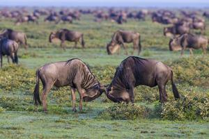 Africa. Tanzania. Wildebeest fighting during the Migration, Serengeti National Park. by Ralph H. Bendjebar