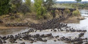 Africa. Tanzania. Wildebeest herd crossing the Mara River, Serengeti National Park. by Ralph H. Bendjebar
