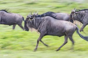 Africa. Tanzania. Wildebeest running during the Migration, Serengeti National Park. by Ralph H. Bendjebar