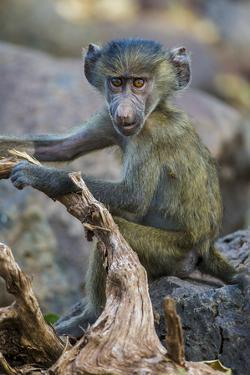 Africa. Tanzania. Yellow baboon, Papio cynocephalus, juvenile at Serengeti National Park. by Ralph H. Bendjebar