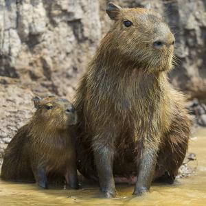 Brazil. A capybara with its young in the Pantanal. by Ralph H. Bendjebar