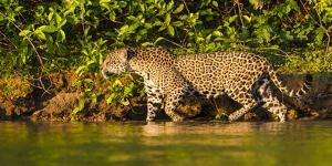 Brazil. A female jaguar hunting along the banks of a river in the Pantanal by Ralph H. Bendjebar