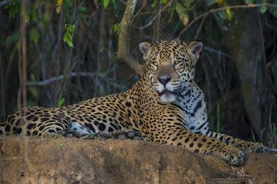 Brazil. A jaguar rests along the banks of a river in the Pantanal.