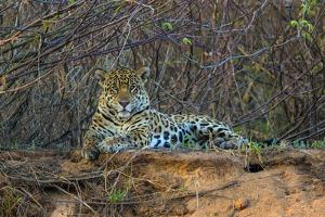 Brazil. A jaguar rests along the banks of a river in the Pantanal. by Ralph H. Bendjebar