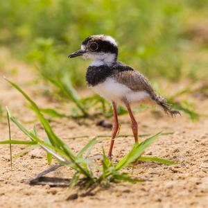 Brazil. A juvenile pied lapwing along the banks of a river in the Pantanal. by Ralph H. Bendjebar