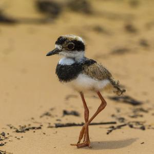 Brazil. A juvenile pied lapwing along the banks of a river in the Pantanal by Ralph H. Bendjebar