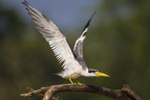 Brazil. A large-billed tern perches along the banks of a river in the Pantanal. by Ralph H. Bendjebar