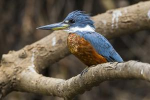 Brazil. A male Amazon kingfisher in the Pantanal. by Ralph H. Bendjebar