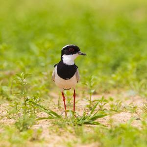 Brazil. A pied lapwing along the banks of a river in the Pantanal. by Ralph H. Bendjebar