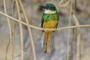 Brazil. A rufous-tailed jacamar found in the Pantanal. by Ralph H. Bendjebar
