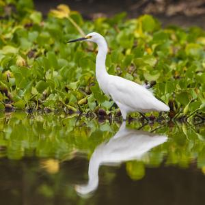 Brazil. A Snowy egret is in the Pantanal. by Ralph H. Bendjebar