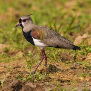 Brazil. A southern lapwing foraging along the banks of a river in the Pantanal by Ralph H. Bendjebar