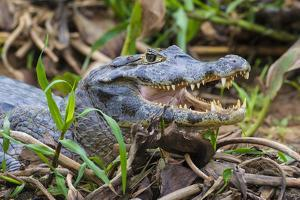 Brazil. A spectacled caiman in the Pantanal. by Ralph H. Bendjebar