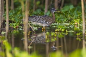 Brazil. A sunbittern foraging along the banks of a river in the Pantanal. by Ralph H. Bendjebar