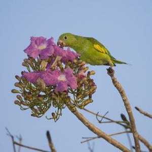 Brazil. A yellow-Chevroned parakeet harvesting the blossoms of a pink trumpet tree in the Pantanal. by Ralph H. Bendjebar