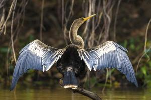 Brazil. An anhinga drying its wings in the sun, found in the Pantanal. by Ralph H. Bendjebar