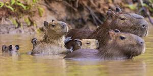 Brazil. Capybara family in the Pantanal. by Ralph H. Bendjebar